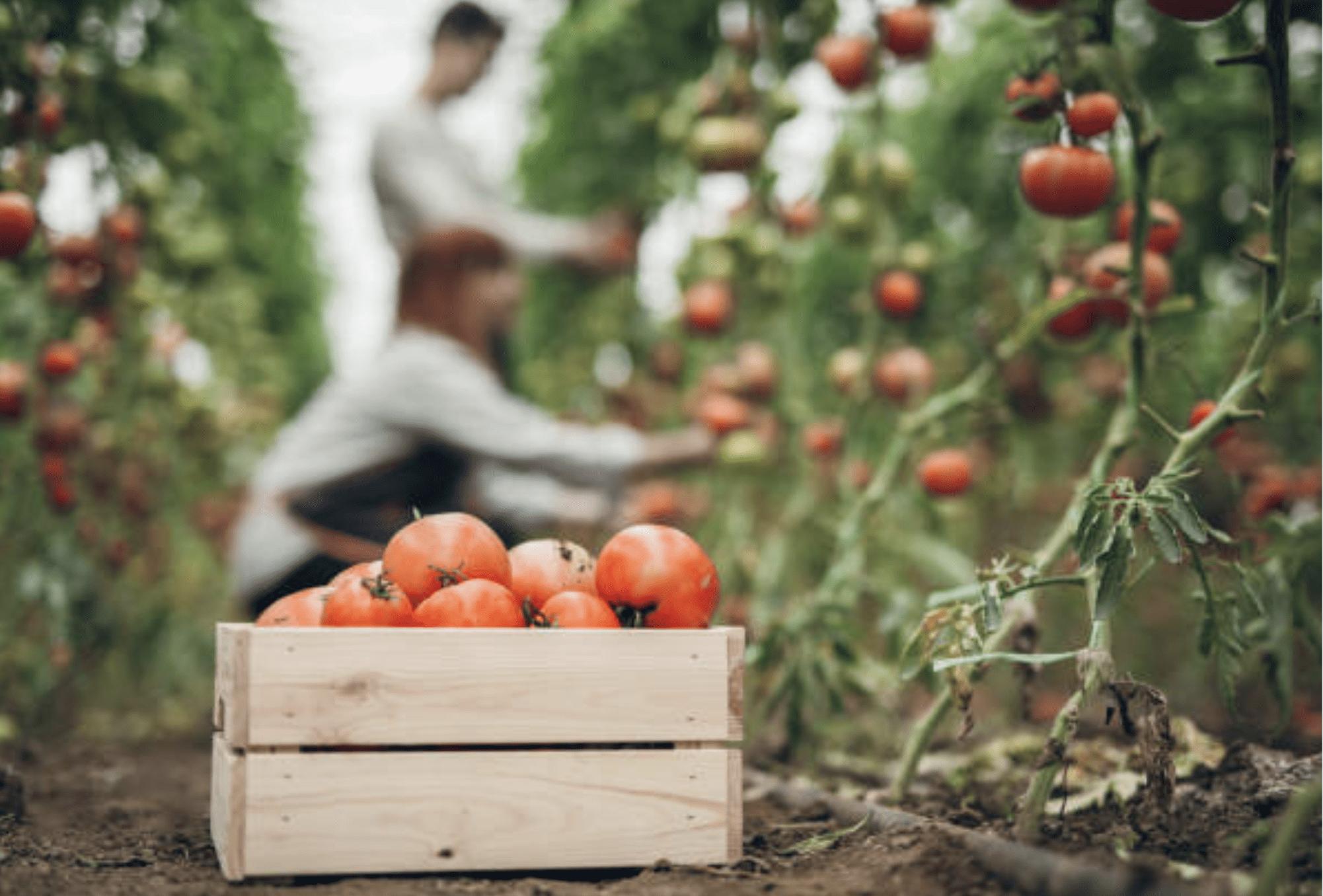maraîchage biologique tomates